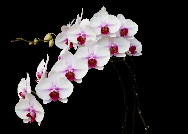 Hoa lan hồ điệp trắng lưỡi đỏ mong gia chủ luôn được may mắn và như ý