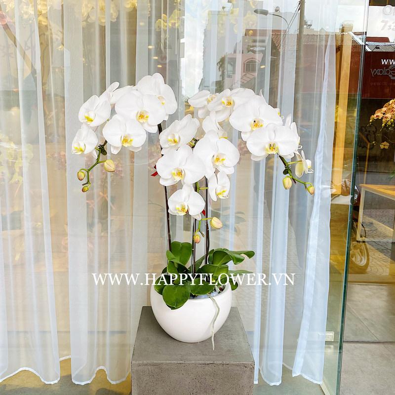 Hoa lan hồ điệp trắng lưỡi vàng thể hiện sự giàu sang phú quý