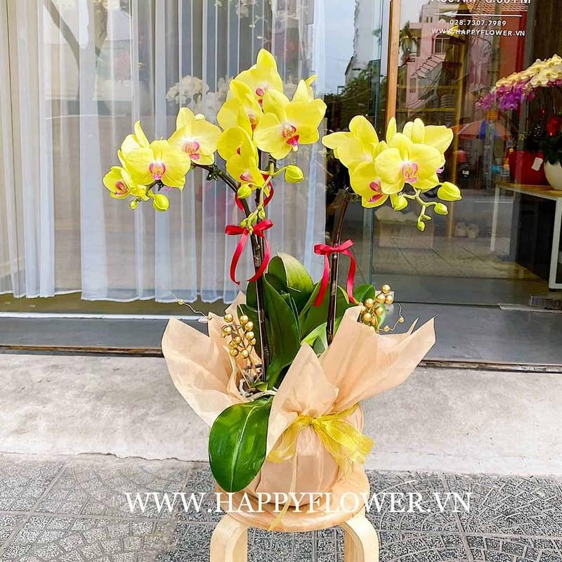 chậu hoa lan hồ điệp màu vàng rực rỡ