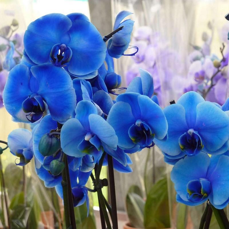 lan hồ điệp màu xanh dương đậm đẹp