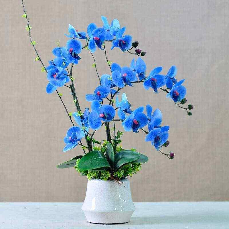 chậu hoa lan hồ điệp màu xanh dương