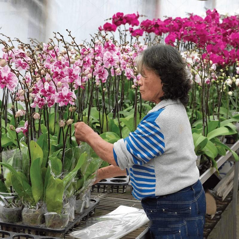 người phụ nữ đang chăm sóc cây lan hồ điệp màu hồng