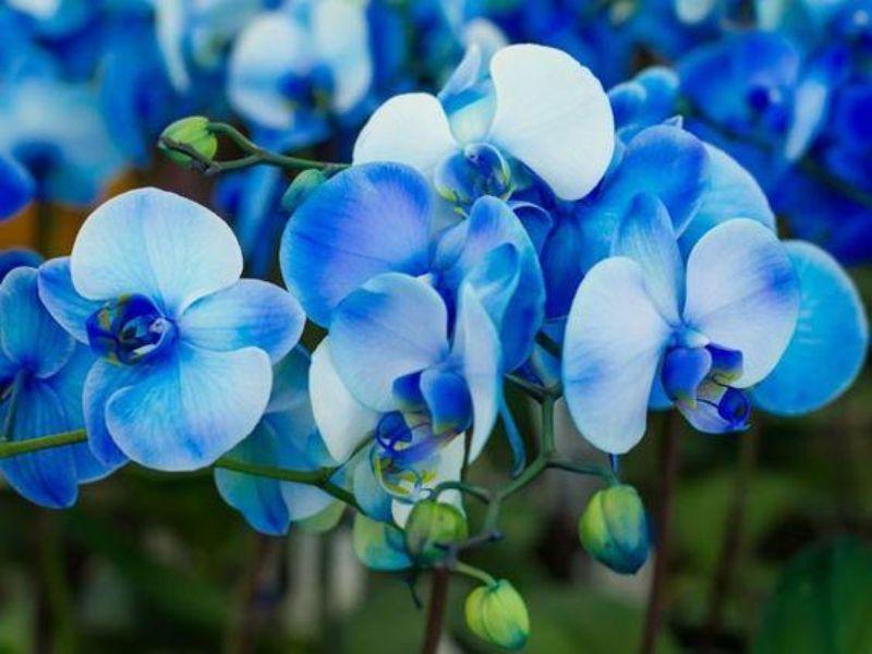 những bông hoa lan hồ điệp màu xanh dương