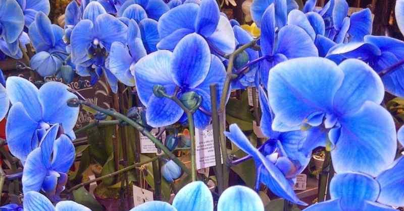 cách trồng hoa lan hồ điệp xanh
