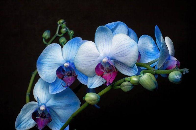 lan hồ điệp màu xanh Boella Coelestis